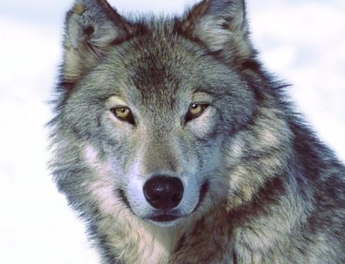 A caccia di un leader. Sulle tracce di un lupo.