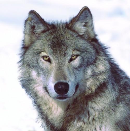 lupo solitario volto